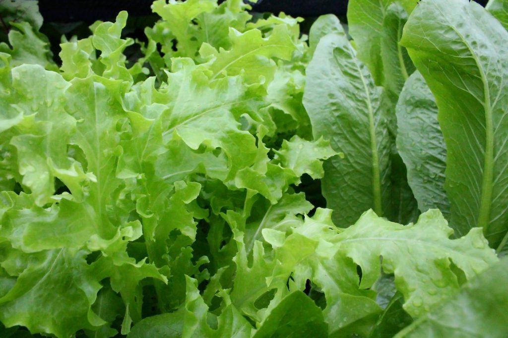 Полезные свойства салата: противопоказания, польза, рецепты